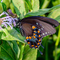 Black Swallowtail butterfly on a native beebalm flower